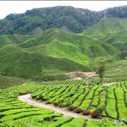 Large Green Tea Plantation